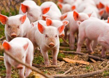 რაჭაში ღორის ფერმები და ლორის შესაბოლი საწარმოები გაიხსნა